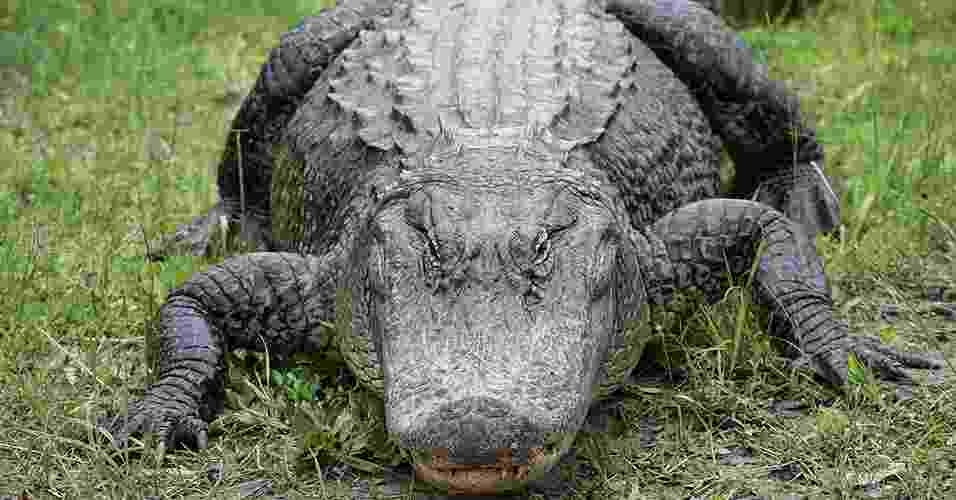 Jacarés, crocodilos e aligatores estão no planeta há milhões de anos e são os seres mais próximos de um dinossauro vivo que nós podemos conhecer. Sabia que eles podem sobreviver até três anos sem comer? - SXC