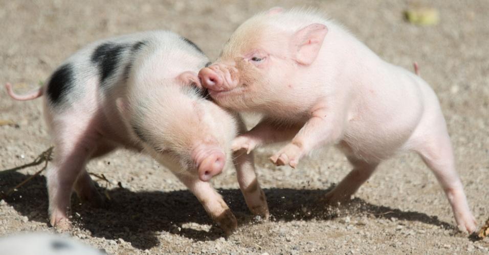 13.ago.2013 - Dois filhotes de mini-porcos brincam em jaula no zoológico de Hanover, na Alemanha