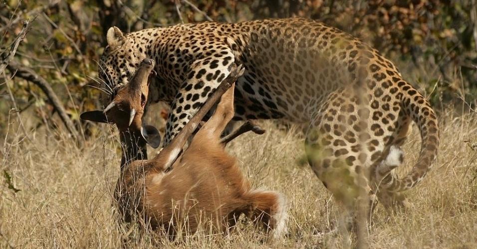 Onça, animal, caça, caçando, biologia