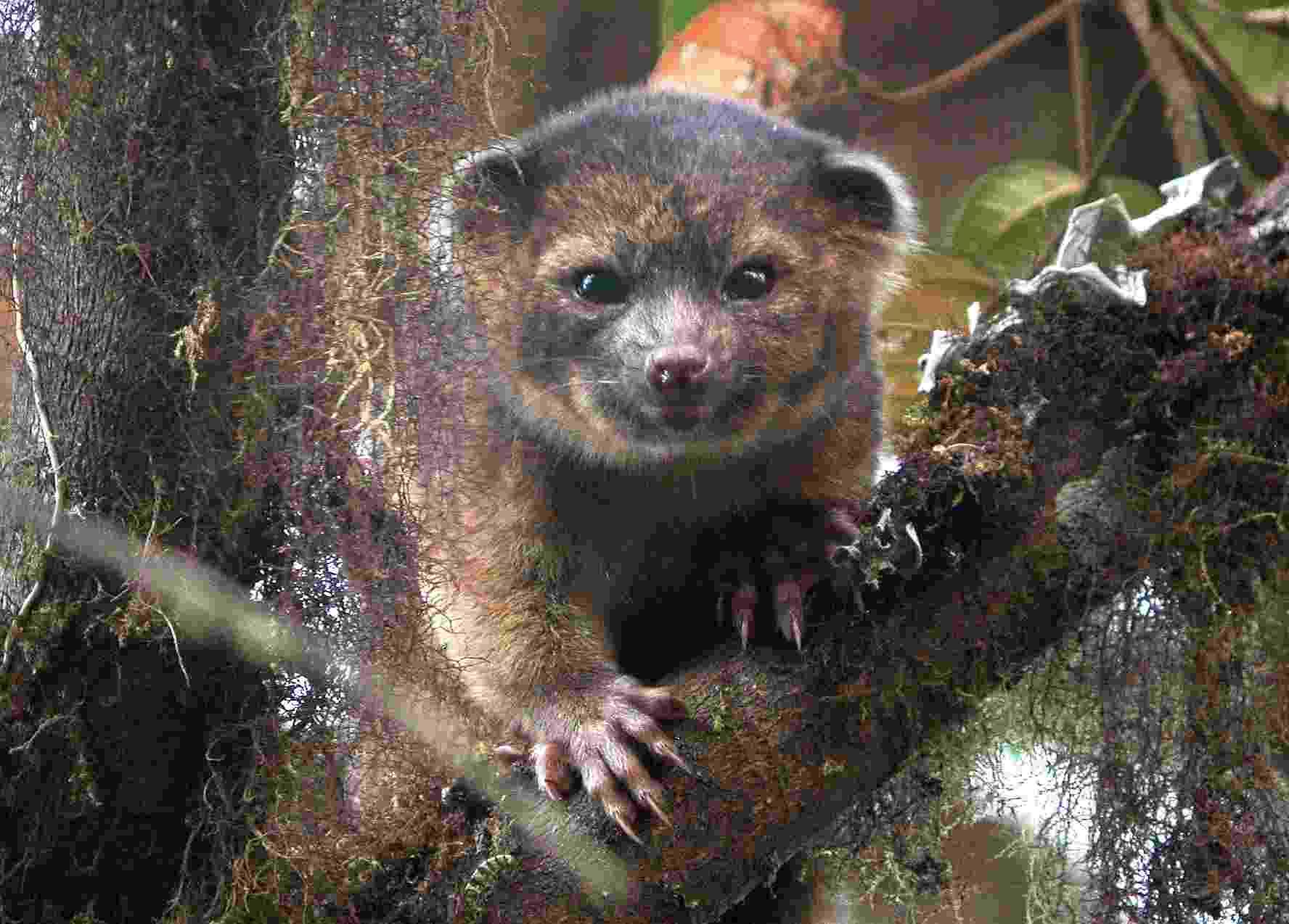 """15.ago.2013 - Kristofer Helgen, curador do Instituto Smithsonian, passou dez anos examinando centenas de espécimes de museu até encontrar, durante expedição nas florestas do Equador, o Olinguito (""""Bassaricyon Neblina'), uma """"mistura de gato doméstico com urso"""", destaca artigo publicado no 'Zookeys'. Esta é a primeira espécie carnívora registrada pela ciência em 35 anos - Mark Gurney"""