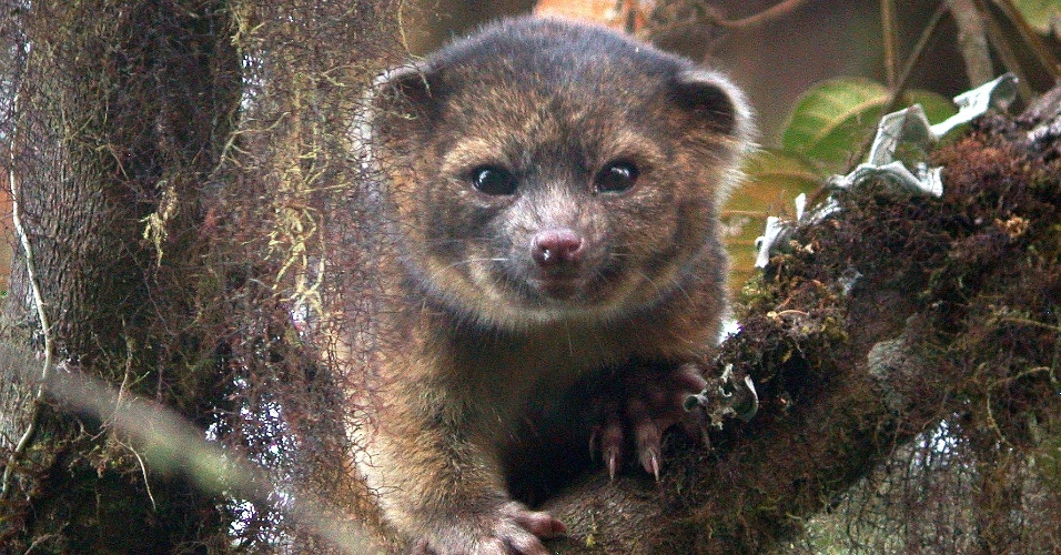 """15.ago.2013 - Kristofer Helgen, curador do Instituto Smithsonian, passou dez anos examinando centenas de espécimes de museu até encontrar, durante expedição nas florestas do Equador, o Olinguito (""""Bassaricyon Neblina'), uma """"mistura de gato doméstico com urso"""", destaca artigo publicado no 'Zookeys'. Esta é a primeira espécie carnívora registrada pela ciência em 35 anos"""
