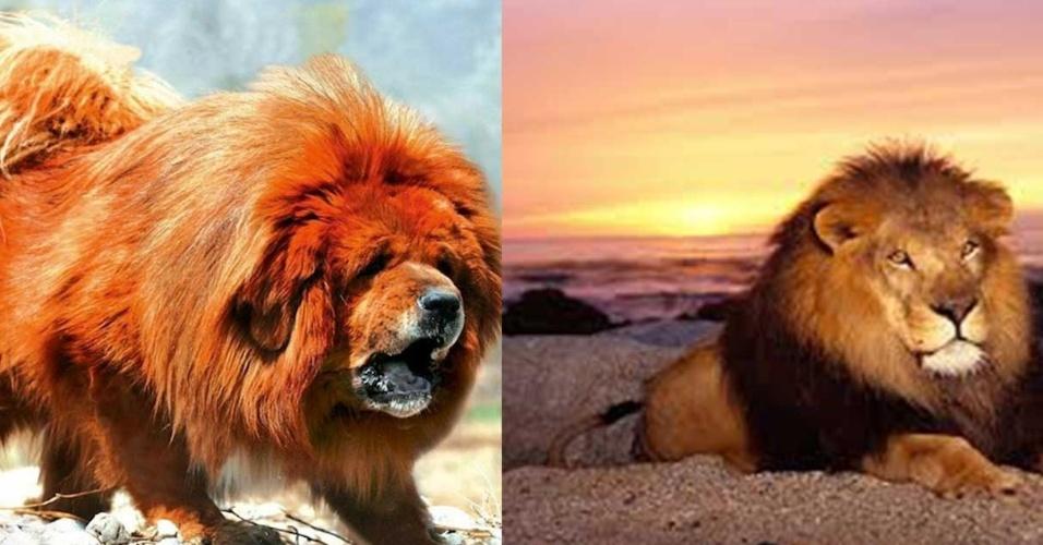 Montagem com cão da raça mastiff tibetano e um leão africano
