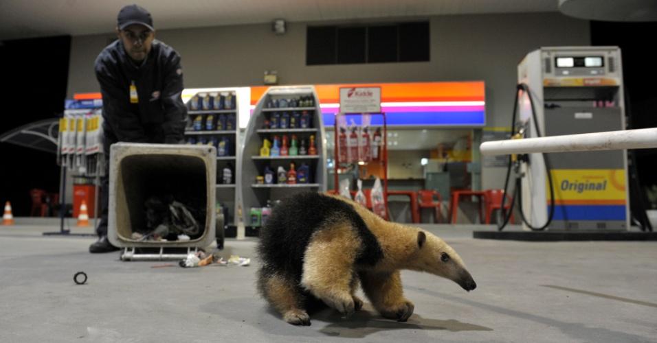 16.ago.2013 - Funcionários de posto de gasolina em Blumenau recebem visita de um tamanduá, na noite desta quinta-feira (15). A Polícia Ambiental recolheu o animal na madrugada desta sexta-feira (16)