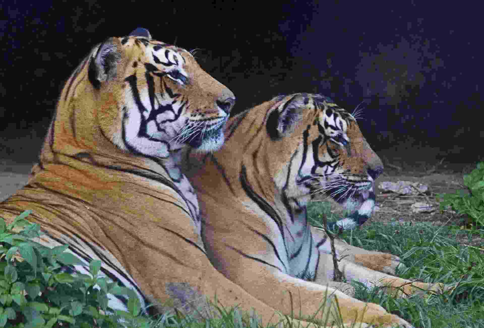 19.ago.2013 - A população de tigres no Nepal passou dos 121 felinos em 2009 para 198 registrados nos primeiros meses de 2013, um aumento de 63% em apenas quatro anos, segundo censo do país. Para fazer a contagem, o governo espalhou 500 câmeras em cinco áreas protegidas do Nepal e nas florestas que fazem fronteira com a Índia, na região Sul do país. No total, foram tiradas 7.699 fotografias, com as quais foi possível identificar 198 felinos graças às marcas de sua pele, que cumprem a função de impressões digitais - Narendra Shrestha/Efe
