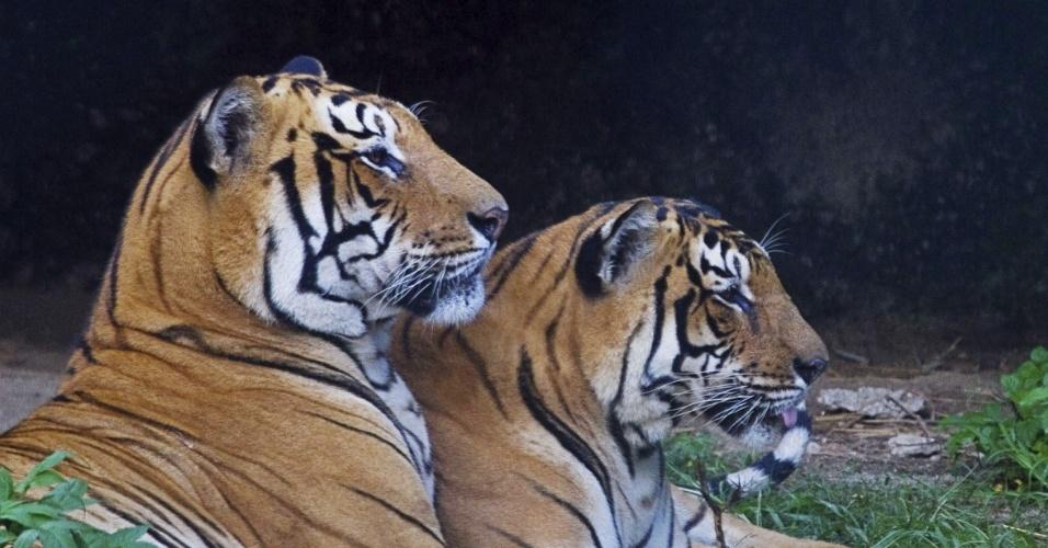 19.ago.2013 - A população de tigres no Nepal passou dos 121 felinos em 2009 para 198 registrados nos primeiros meses de 2013, um aumento de 63% em apenas quatro anos, segundo censo do país. Para fazer a contagem, o governo espalhou 500 câmeras em cinco áreas protegidas do Nepal e nas florestas que fazem fronteira com a Índia, na região Sul do país. No total, foram tiradas 7.699 fotografias, com as quais foi possível identificar 198 felinos graças às marcas de sua pele, que cumprem a função de impressões digitais