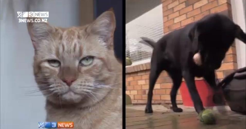 21.ago.2013 - Um gato foi salvo da morte na Nova Zelândia graças ao sangue doado por um cachorro, um caso raríssimo de transfusão entre espécies, destacou a imprensa local nesta quarta-feira (21). Rory, um gato de pelo avermelhado e que ingeriu veneno contra ratos recebeu o sangue doado por um labrador preto