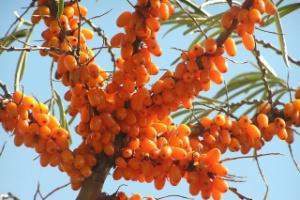 O espinheiro marítimo tem mais vitamina C do que o Kiwi e mais vitamina E que a soja