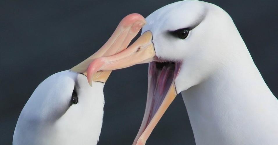 26.ago.2013 - A Sociedade Ecológica Britânica escolheu os vencedores de sua competição anual de fotografia. Acima, a foto de Zoe Davies, a vencedora geral, com a imagem de dois albatrozes nas ilhas Malvinas (Falklands). O prêmio de 2013 marca os cem anos da sociedade, criada para estimular a pesquisa ecológica
