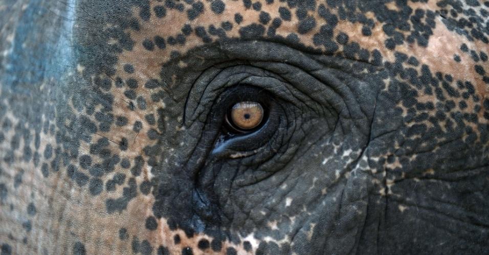 28.ago.2013 - O olho de um elefante durante o torneio anual de polo de elefantes na estância balnearia de Hua Hin, ao sul ??de Bangkok, na Tailândia
