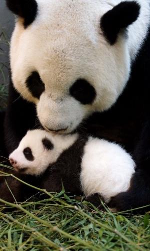 28.ago.2013 - Panda gigante Yuan Yuan segura filhote nascido em 6 de julho, no zoológico de Taipei, em Taiwan