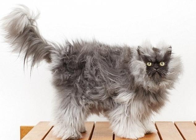 29.ago.2013 - Gato chamado Colonel Meow, mistura de persa e himalaio, entrou para o Livro dos Recordes Guinness por possuir o pelo mais longo, com 22,87cm de comprimento