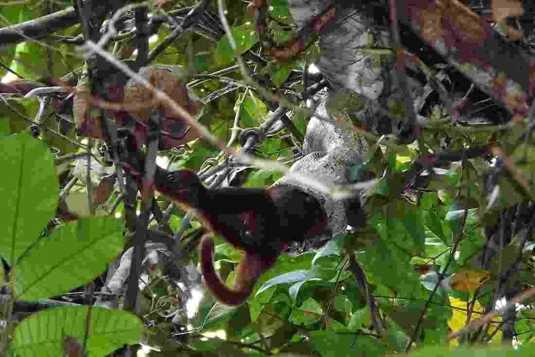 2.set.2013 - Pesquisadora brasileira registrou, pela primeira vez, o ataque mortal de uma jiboia a um bugio na Amazônia - Erika Patrícia Quintino