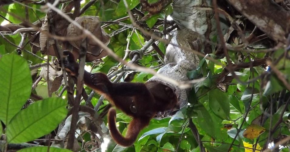 2.set.2013 - Pesquisadora brasileira registrou, pela primeira vez, o ataque mortal de uma jiboia a um bugio na Amazônia