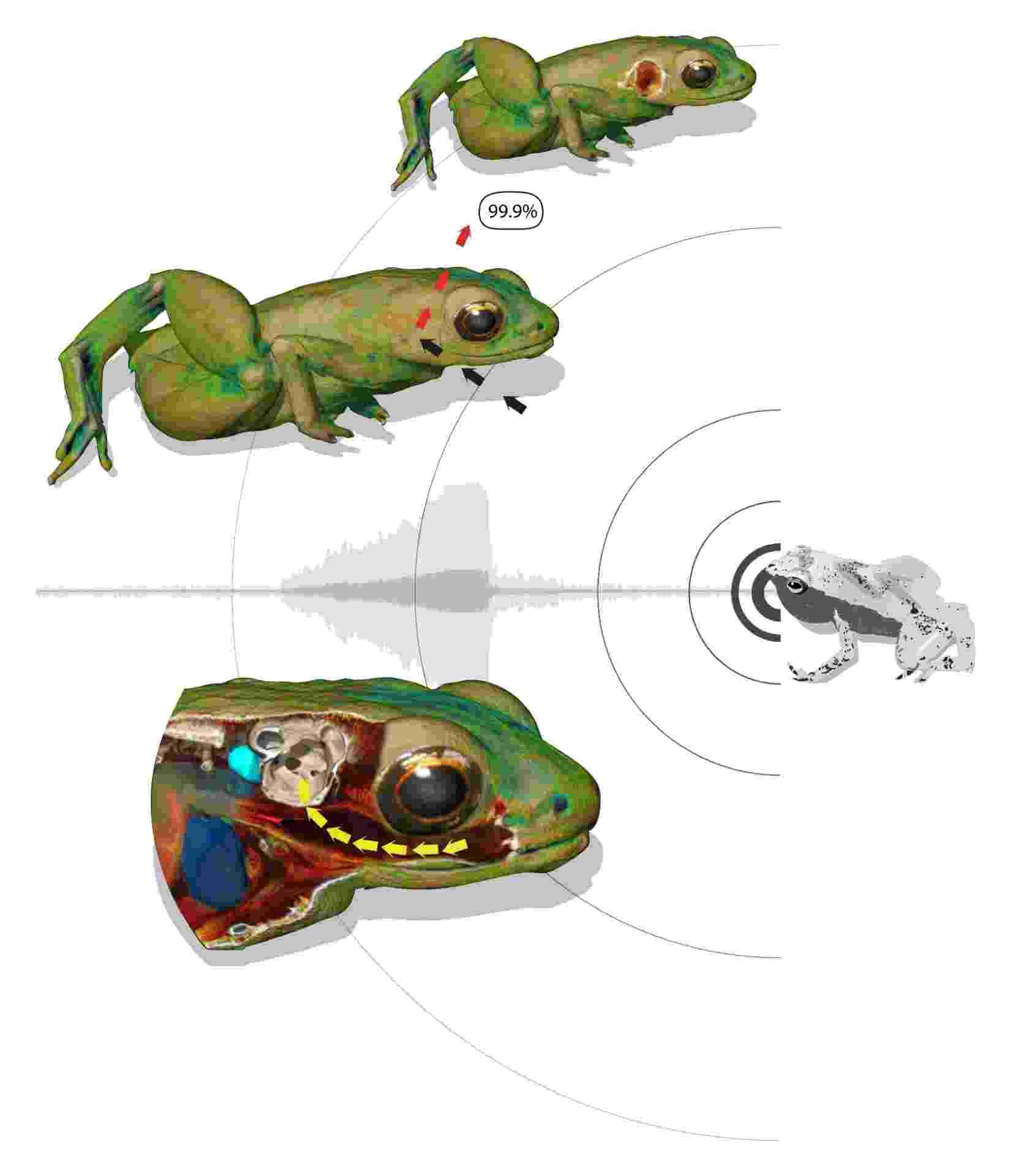 """2.set.2013 - A boca da rã Gardiner (""""Sechellophryne gardineri"""") funciona como uma """"câmara de ressonância"""" para as frequências sonoras, ampliando o 'barulho' dentro da cabeça do animal - no caso do estudo francês, foram usados o coaxar de outras espécies de anfíbios como teste de audição. Uma membrana que existe entre a cavidade bucal e do ouvido interno está adaptada para transportar essas ondas sonoras para o ouvido interno, permitindo que o pequeno anfíbio escute mesmo sem ter tímpano nem ouvido médio - R. Boistel/CNRS"""