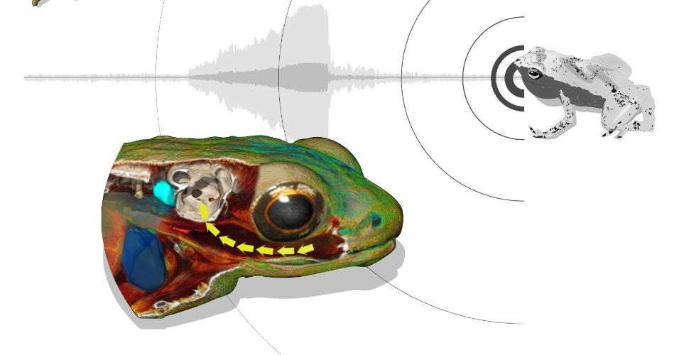 """2.set.2013 - A boca da rã Gardiner (""""Sechellophryne gardineri"""") funciona como uma """"câmara de ressonância"""" para as frequências sonoras, ampliando o 'barulho' dentro da cabeça do animal - no caso do estudo francês, foram usados o coaxar de outras espécies de anfíbios como teste de audição. Uma membrana que existe entre a cavidade bucal e do ouvido interno está adaptada para transportar essas ondas sonoras para o ouvido interno, permitindo que o pequeno anfíbio escute mesmo sem ter tímpano nem ouvido médio"""
