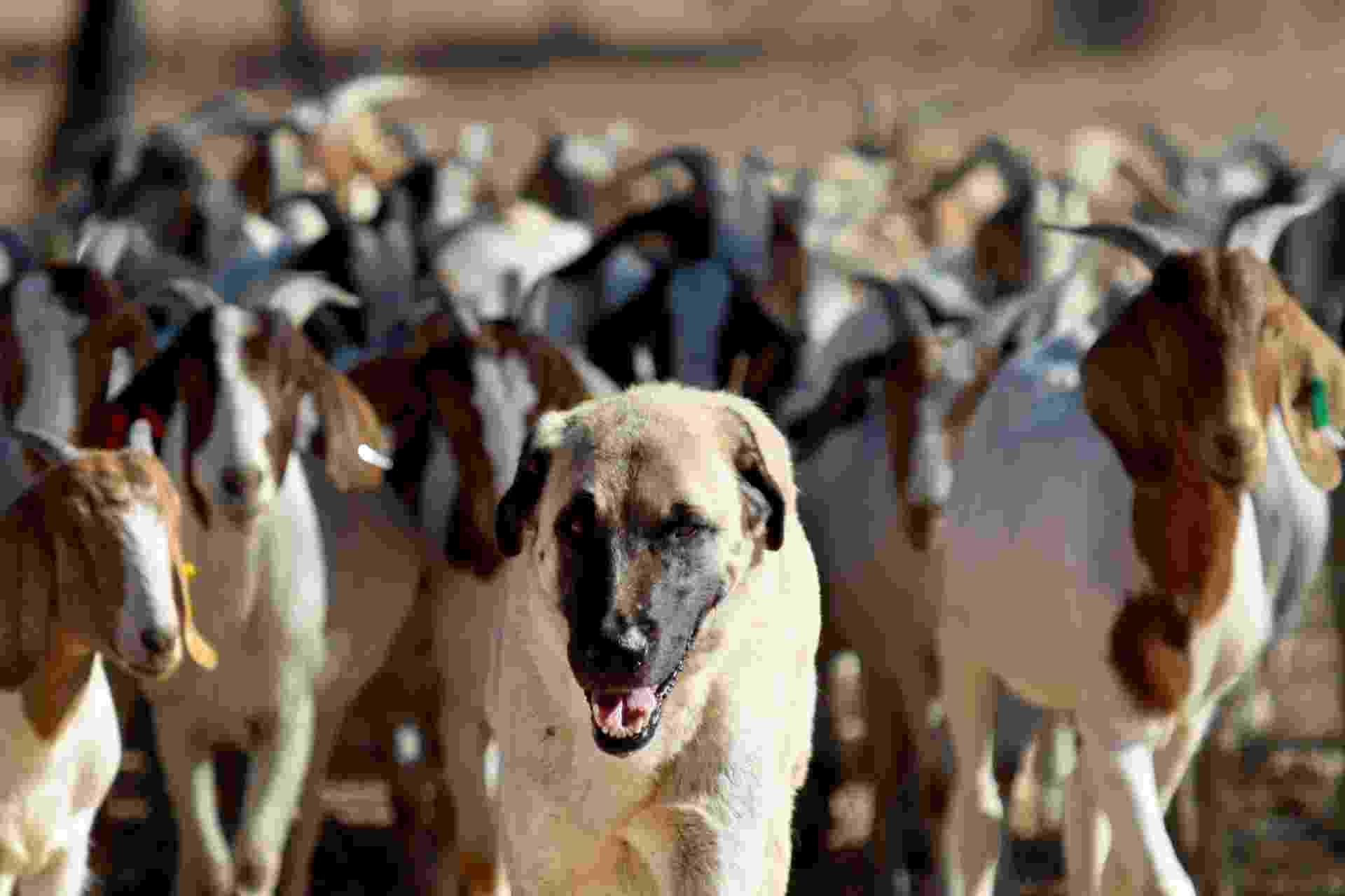 3.set.2013 - Bonzo cuida das cabras da fazenda de Retha Joubert, em Gobabis, no Leste da Namíbia, há cinco anos. O cão pastor foi criado desde o início com o rebanho, vivendo e dormindo com eles, para criar vínculos e, assim, protegê-los dos predadores selvagens. O método ajudou não só os produtores rurais, que não perdem mais animais, mas também a população dos guepardos, que antes eram expulsos de seus territórios - cerca de mil guepardos eram abatidos por ano pelos produtores rurais - Jennifer Bruce/AFP