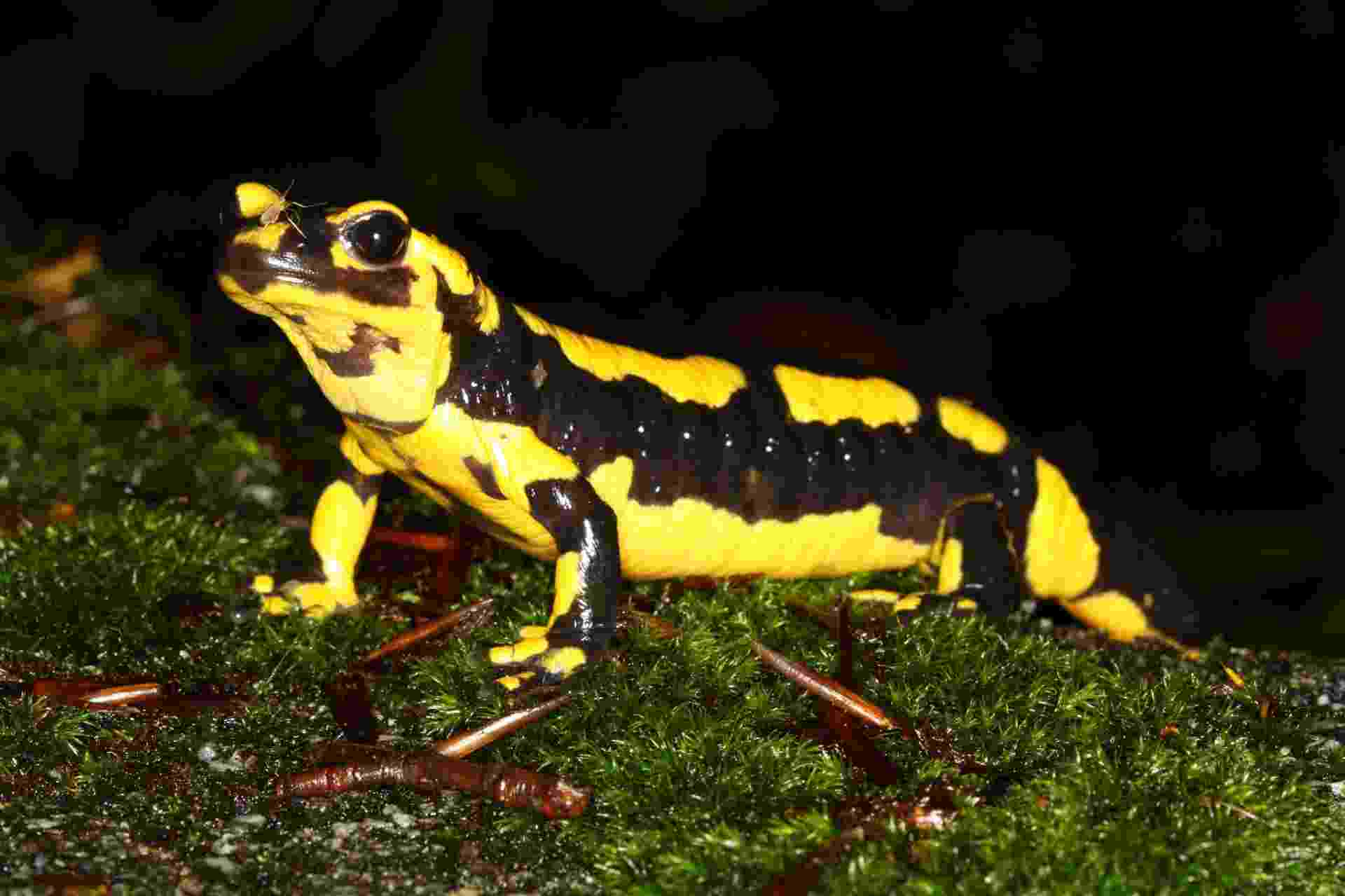 """3.set.2013 - Uma nova espécie de fungo está matando as salamandras da Holanda em um ritmo acelerado desde 2010: restam apenas 10 indivíduos nas matas do país, menos de 4% da população original. Os cientistas isolaram o """"Batrachochytrium salamandrivorans"""", fungo que come a pele do animal, destruindo-o completamente - ele é passado por contato direto - Frank Pasmans/Imperial College London/AFP"""