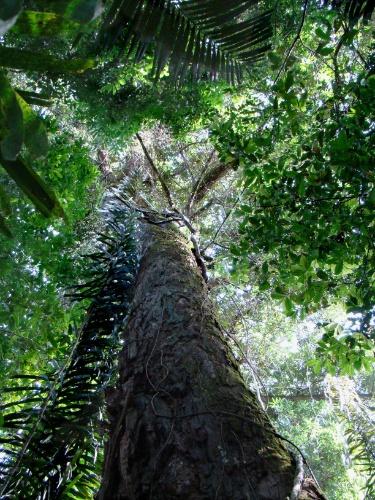4.set.2013 - A Amazônia é considerada a maior reserva natural do planeta, sendo habitat de inúmeras espécies animais, vegetais e arbóreas, mas também fonte de matérias-primas alimentares, florestais, medicinais e minerais. É que crescem no bioma cerca de 2.500 espécies de árvores, o que corresponde a um terço da madeira tropical do mundo, e mais 30 mil espécies de plantas das cem mil da América do Sul, segundo dados do Ministério do Meio Ambiente. Acima, imagem de árvore do Parque Nacional do Viruá, unidade de conservação da Amazônia instituída em 1998