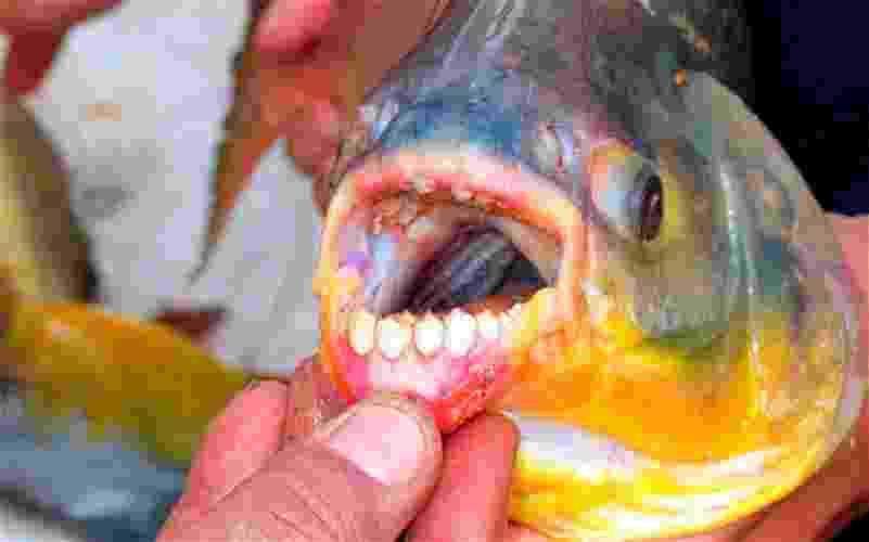 O pacu, comum no Pantanal e Amazônia brasileiras, é um primo da piranha, mas é dócil e geralmente é criado em aquários e pesque-pague.  Mede em média 21,5 centímetros, mas em algumas regiões pode chegar a 90 centímetros - Reprodução