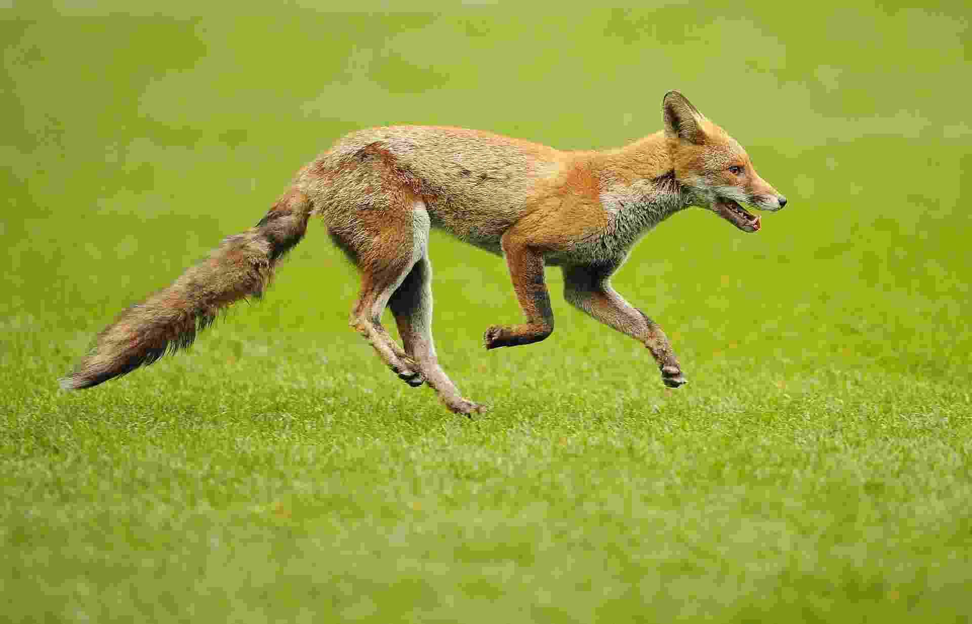 5.set.2013 - Cerca de dez mil raposas vivem nos parques e nas ruas de Londres, que corresponde a um terço das raposas 'urbanas' do Reino Unido, segundo recente pesquisa da Universidade de Bristol, na Inglaterra. E sete em cada dez londrinos (70% dos entrevistados) já admitiram ter visto uma raposa saltitante na capital britânica no período da última semana. Para ambientalistas, isso significa risco aos animais, já que a expectativa de vida cai de 14 anos dos que estão em cativeiro para não mais do que 2 anos das espécimes urbanas - Carl de Souza/AFP