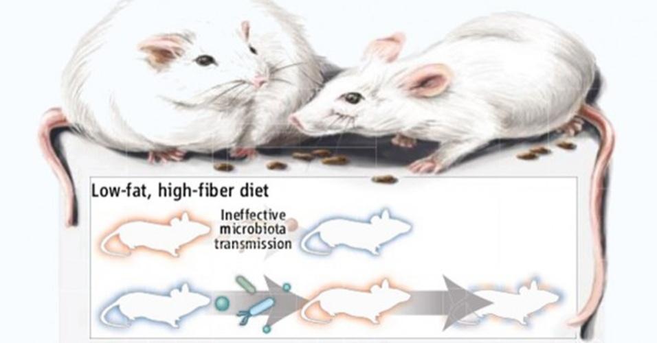 5.set.2013 - Estudo feito com camundongos mostra que a flora intestinal humana tem um fator determinante no metabolismo do organismo. As cobaias tiveram a mesma dieta e consumiram a mesma quantidade de alimentos, mas o grupo que recebeu bactérias da flora intestinal de obesos (identificados em vermelho) engordaram mais dos que foram injetados com micróbios do intestino de pessoas magras (em azul). Na segunda fase dos experimentos, os obesos 'emagreceram' com uma dieta saudável (rica em fibras e pobre em gorduras saturadas), que os fez obter bactérias intestinais dos companheiros magros; mas quando foram alimentados com poucas fibras e muita gordura, o grupo obeso não impediu o ganho de peso, pois não conseguiu obter as