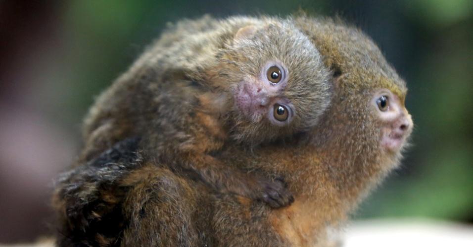 5.set.2013 - Sagui pigmeu transporta filhote no Ocean Park, em Hong Kong, sul da China, nesta quinat-feira (5). O sagui pigmeu é o menor macaco selvagem do mundo