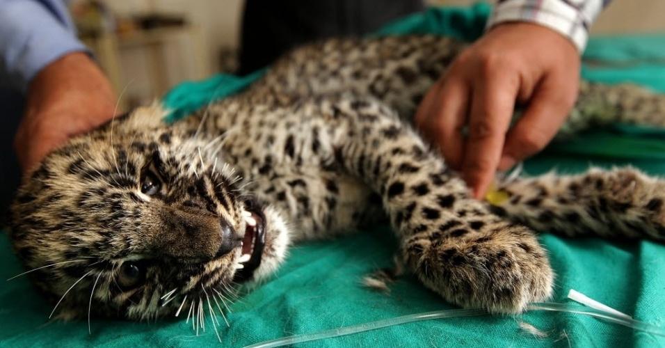 9.set.2013 - Filhote de leopardo recebe tratamento para lesões na coluna vertebral no Santuário da Vida Selvagem Manda, em Jammu, na Índia. O filhote foi resgatado por funcionários florestais após ser ferido por pessoas que vivem perto da floresta Ramlutta. O filhote e a mãe invadiram uma vila e foram atacados com projéteis