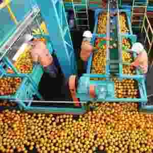 Da indústria de suco de laranja, um líquor que sai na prensa do bagaço da fruta foi levado ao Centro de Pesquisa da Cachaça, na Unesp de Araraquara (SP), para ser estudado e incluído, anos mais tarde, como parte de uma aguardente marcante - Edson Silva /Folhapress