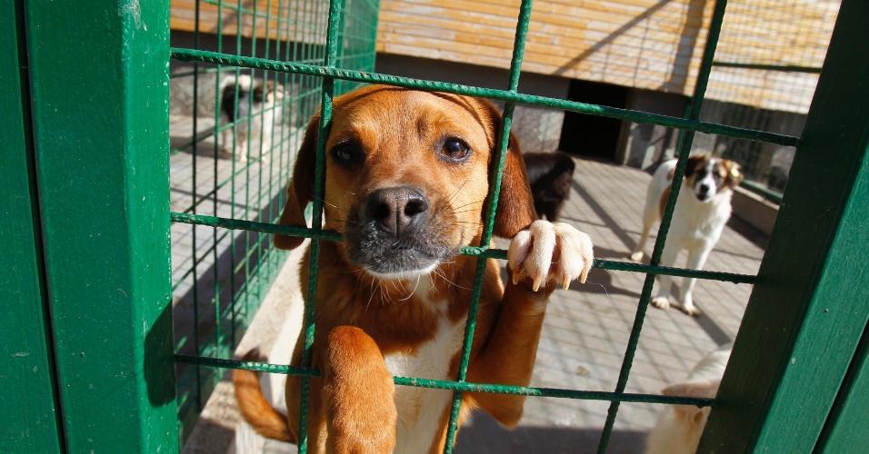10.set.2013 - Cachorro de rua olha para fora de jaula em um centro de adoção de animais em Uzunu, a 35 km ao sul de Bucareste, na Romênia. O Congresso do país aprovou uma lei que autoriza a eutanásia para cães de rua que não tenham sido reclamados por seus donos num período de 14 dias a partir de sua captura, uma decisão muito criticada por defensores dos animais