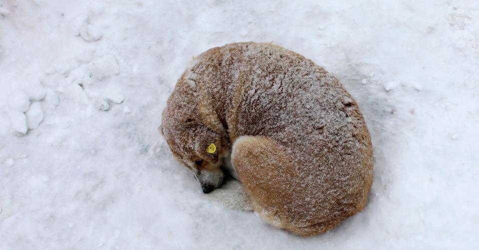 10.set.2013 - Cachorro de rua dorme em chão coberto de neve em Bucareste, na Romênia. O Congresso do país aprovou uma lei que autoriza a eutanásia para cães de rua que não tenham sido reclamados por seus donos num período de 14 dias a partir de sua captura, uma decisão muito criticada por defensores dos animais