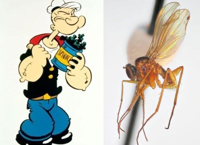 """11.set.2013 - Cientistas relataram na revista Zootaxa a descoberta de seis novas espécies de moscas """"Popeye"""" nas ilhas de Tahiti. Os insetos foram chamados de """"Campsicnemus popeye"""" porque têm pernas salientes, que se assemelham ao antebraço do personagem. As moscas amareladas, no gênero """"Campsicnemus"""" (latim para """"pernas dobradas""""), tem o comprimento de uma borracha e olhos vermelhos, seis pernas finas e um par de asas"""
