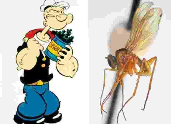 """11.set.2013 - Cientistas relataram na revista Zootaxa a descoberta de seis novas espécies de moscas """"Popeye"""" nas ilhas de Tahiti. Os insetos foram chamados de """"Campsicnemus popeye"""" porque têm pernas salientes, que se assemelham ao antebraço do personagem. As moscas amareladas, no gênero """"Campsicnemus"""" (latim para """"pernas dobradas""""), tem o comprimento de uma borracha e olhos vermelhos, seis pernas finas e um par de asas - Divulgação/Neal Evenhuis"""