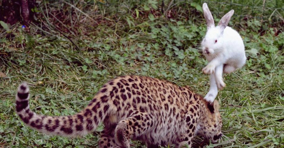 11.set.2013 - Coelho pula para fugir de ataque de um filhote de leopardo de cinco meses, durante teste dos instintos selvagens do felino em um parque de vida selvagem em Qingdao, na China, na terça-feira (10), em foto divulgada hoje. O parque promoveu testes similares com filhotes de tigre, leão e leopardo