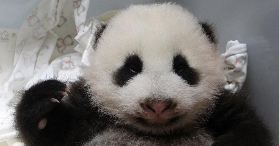 11.set.2013 - Filhote de panda nascido em 7 de julho é fotografado no zoológico de Taipé, em Taiwan