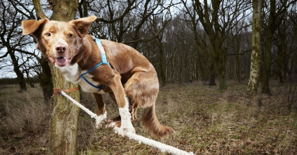 11.set.2013 - Cão britânico chamado Ozzy, que detém o recorde mundial pela travessia mais rápida em uma corda bamba por um cão, é fotografado em local não divulgado. O cão de quatro anos cruzou com sucesso uma corda medindo 3,5 m em 18 segundos. O feito entrou para o Livro dos Recordes