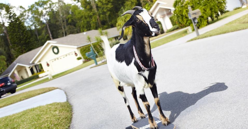 11.set.2013 - A cabra Happie anda em um skate, nos Estados Unidos. Ela será reconhecida no próximo Guiness, o Livro dos Recordes, por ser a cabra que atingiu a maior distância em cima de um skate