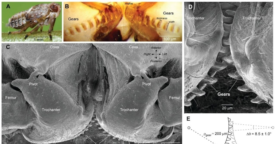 """16.set.2013 - A ninfa de um tipo de percevejo, o """"Issus coleoptratus"""", usa um par de engrenagens nas coxas (quadros B e D) para sincronizar o movimento das pernas durante os saltos. Esta é a primeira vez que um sistema de engrenagens capaz de entrelaçar os dentes e girar de modo funcional é descrito na natureza, ressalta pesquisa publicada na revista Science"""