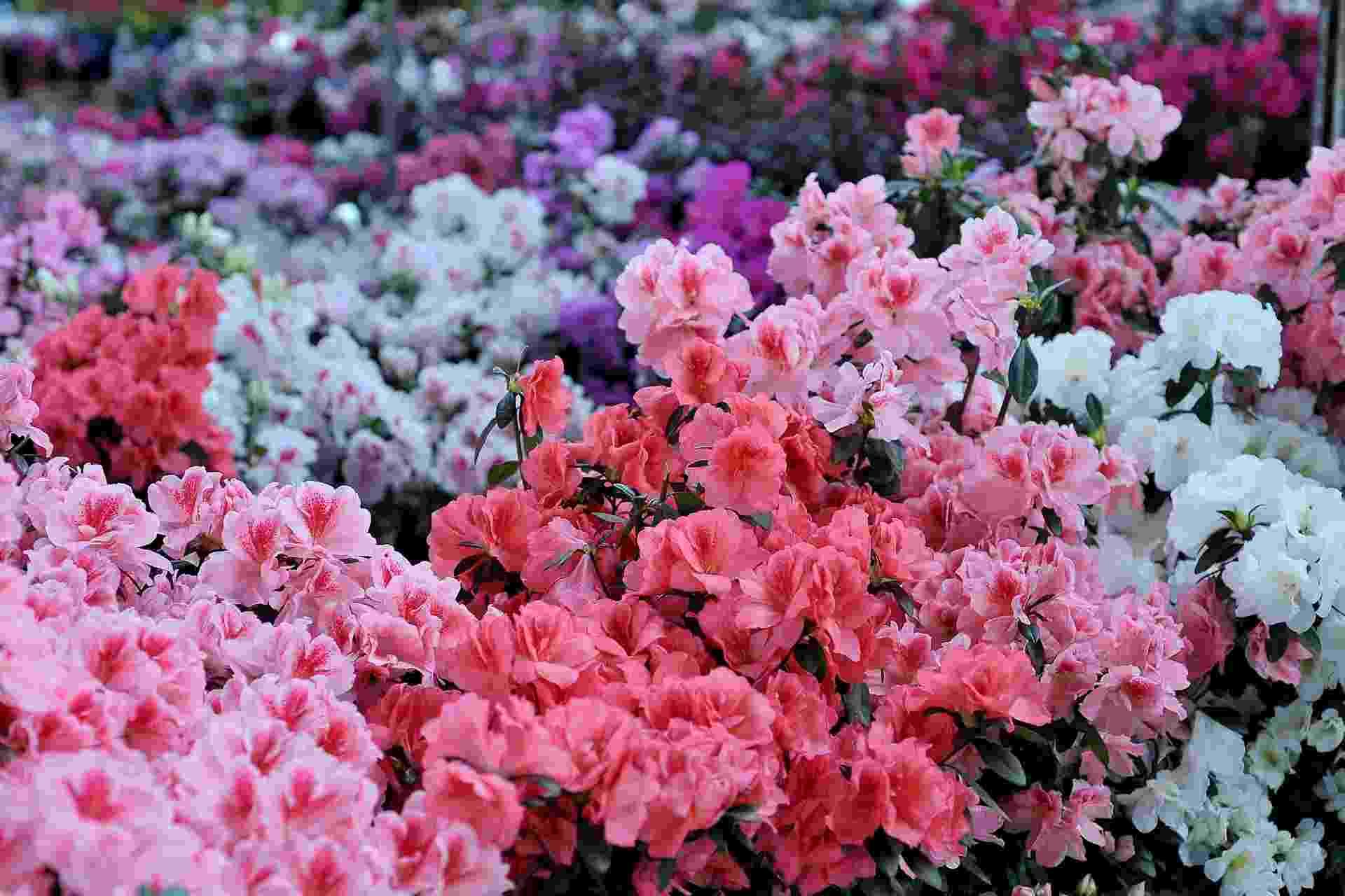 17.dez.2013 - Diversidade de flores e cores traz com a Primavera a sensação de que a vida se renova. Rosas brancas, roxas, amarelas e vermelhas perfumam a chegada desta época do ano - Reinaldo Canato/UOL