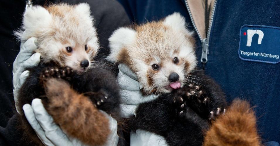 20.set.2013 - Funcionários seguram filhotes de panda vermelho no zoológico de Nuremberg, no sul da Alemanha. Os dois pandas nasceram em 6 de julho