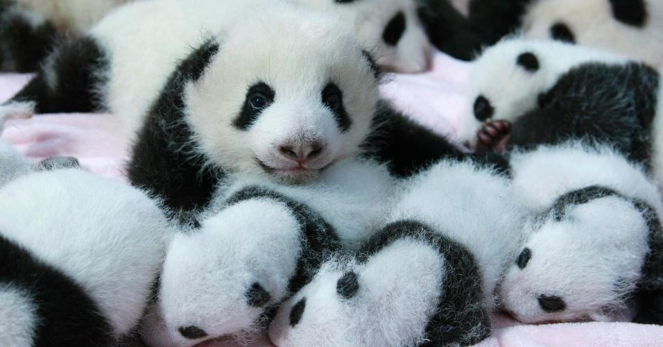 23.set.2013 - 14 novos filhotes de panda foram apresentados ao público na China nesta segunda-feira (23). Os pandas fazem parte de uma família com 128 animais da espécie