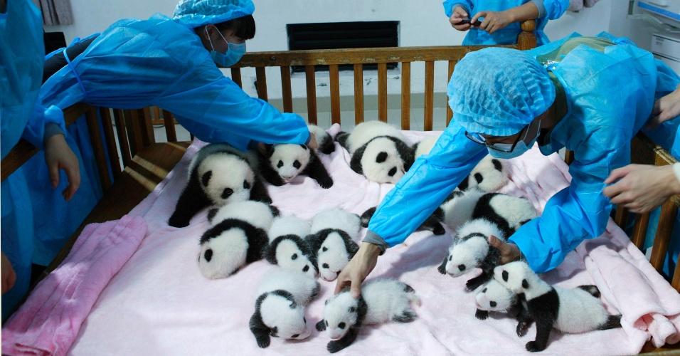 23.set.2013 - Cuidadores organizam 14 filhotes de panda dentro de um berço para serem exibidos à imprensa no Centro de Pesquisa e Criação de Pandas em Chengdu, na província de Sichuan, na China