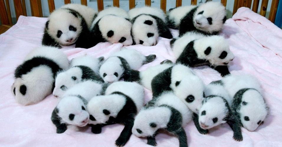 23.set.2013 - Filhotes de panda são apresentados em base de pesquisa de Chengdu, na China