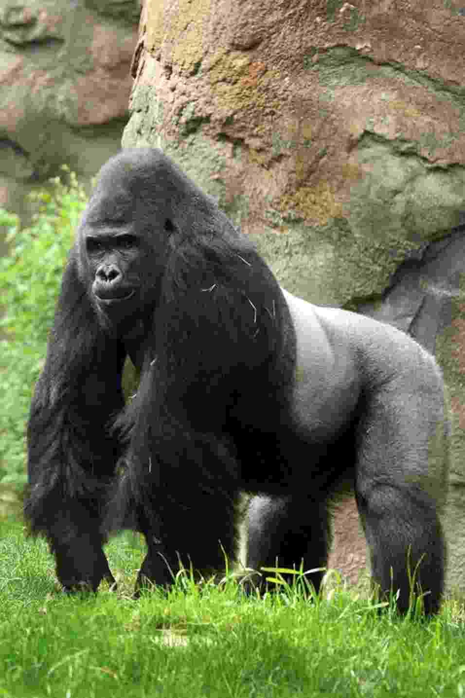 """23.set.2013 - O zoológico de Dallas anunciou que vai enviar Patrick, um gorila de 23 anos, para outra instituição nos Estados Unidos. Mesmo sendo uma das atrações do parque, já que se dá bem com humanos, o macho de quase 200 kg é bastante agressivo com os outros animais do recinto, em especial com as fêmeas. Ele vai viver no Zoológico e Jardins Riverbanks, na Carolina do Sul, que é conhecido por """"tratar"""" gorilas com problemas de comportamento - Dallas Zoo"""
