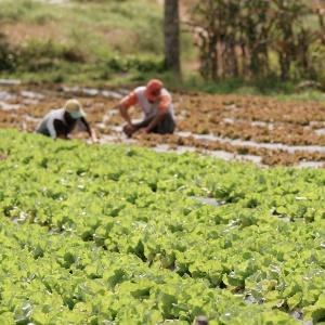 Agricultores trabalham em plantação de alface orgânica, em Ibiúna