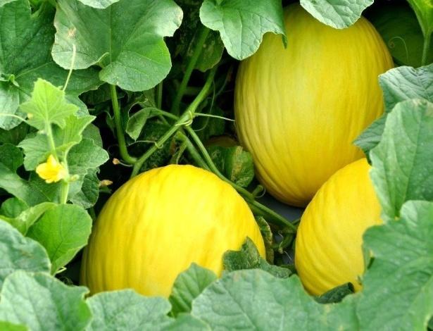 O clima e o solo de Mossoró (RN) garantem que o melão tenha qualidade já comprovada dentro e fora do país. O mercado europeu, os Estados Unidos e o Japão importam o produto