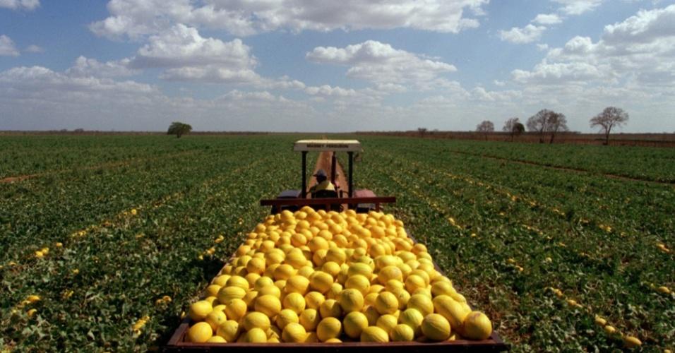 O Rio Grande do Norte é o maior produtor brasileiro de melões, com mais de 8 mil hectares de plantação, que produzem mais de 250 mil toneladas da fruta