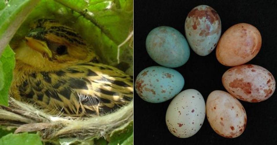 """25.set.2013 - A espécie africana tecelão-parasita (""""Anomalospiza imberbis"""") engana outros pássaros para que choquem seus ovos. A fêmea volta para o ninho hospedeiro várias vezes e chega a depositar cerca de um ovo em dias alternados. Sua maior vítima é a prínia-de-flancos-castanhos (""""Prinia subflava""""), uma ave de tamanho similar, mas com coloração mais escura. """"Eles enganam os hospedeiros e, com isto, ajudam que mais filhotes sejam criados"""", explica estudo publicado na revista """"Nature Communications"""""""