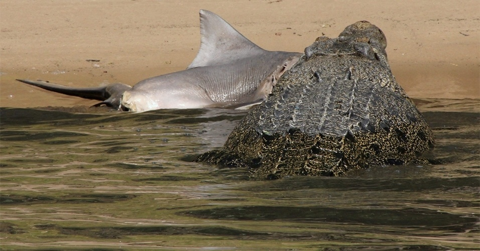 25.set.2013 - Crocodilo de água salgada (Crocodylus porosus) ataca um tubarão no Parque Nacional Kakadu, na Austrália. A imagem foi capturada por um grupo de britânicos que fazia um cruzeiro na região. Os crocodilos desta espécie são os maiores répteis vivos atualmente, sendo que os machos adultos podem chegar a 7 metros de comprimento