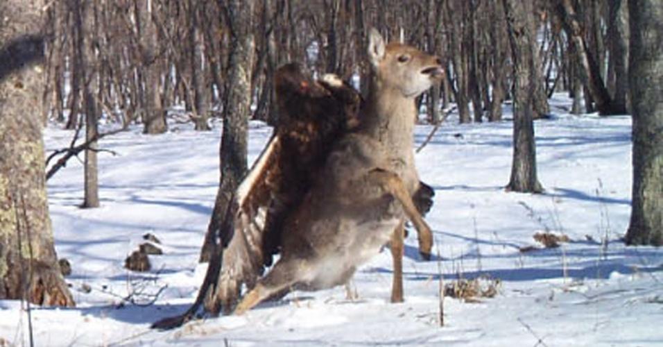 """25.set.2013 - Durou apenas dois segundos, mas uma câmera de monitoramento na Sibéria, Rússia, que pretendia filmar tigres, registrou o momento exato em que uma águia real (Aquila chrysaetos) capturou um jovem veado. Sua carcaça foi encontrada duas semanas mais tarde, perto dali. A imagem rara aparece em um estudo na edição de setembro do """"Journal of Research Raptor"""". As águias reais costumam comer pequenos animais como coelhos, mas há um registro de 2004 que mostra uma águia atacando um filhote de urso marrom"""