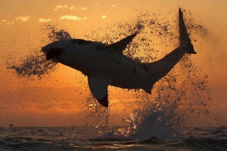 25.set.2013 - O fotógrafo irlandês David Jenkins preparou uma isca para tirar esta foto do tubarão branco no nascer do sol em Seal Island, False Bay, na África do Sul